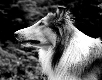 Lassie_pal